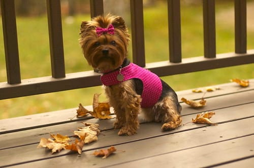 Little Dog Harness FREE Sewing Tutorial